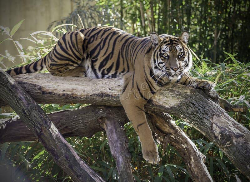 Tigre femminile sul ceppo fotografia stock