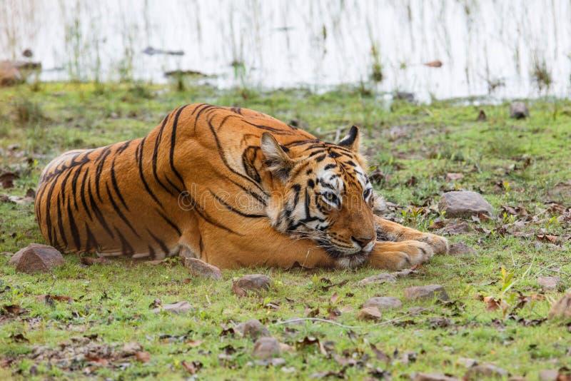 Tigre femminile in Tadoba NP in India fotografie stock