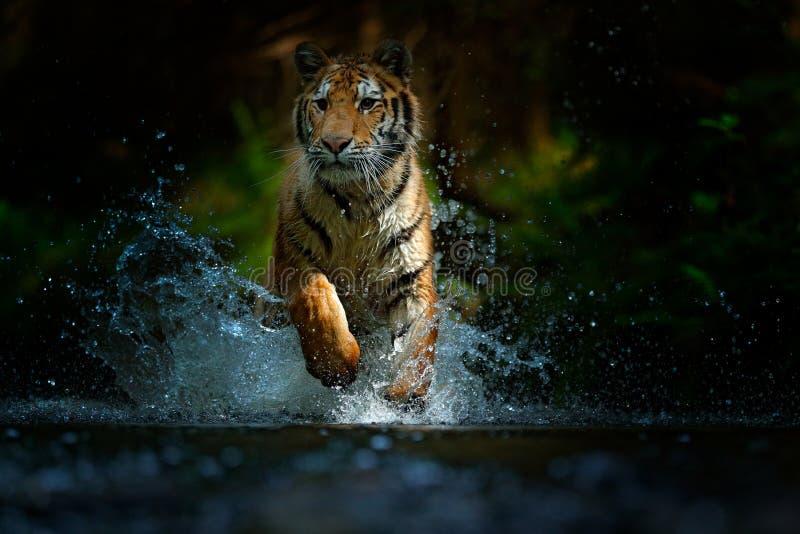 Tigre fonctionnant dans l'eau Animal de danger, tajga en Russie Animal dans le courant de forêt Grey Stone, gouttelette de rivièr photo stock