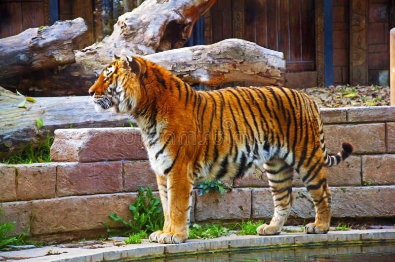 Tigre grande cerca de la pared y de la charca, otoño imágenes de archivo libres de regalías