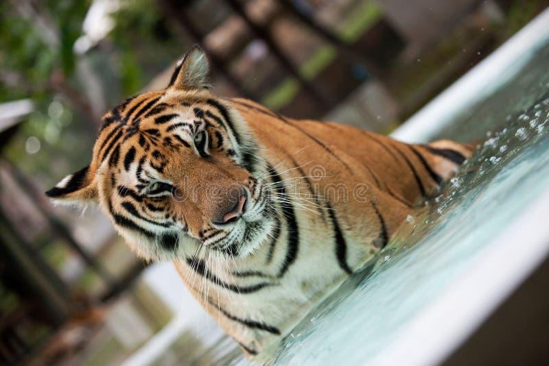 Tigre grande de Indochina en la piscina imagenes de archivo