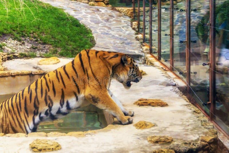 Tigre grande en gruñidos de la piscina del parque zoológico ruidosamente foto de archivo