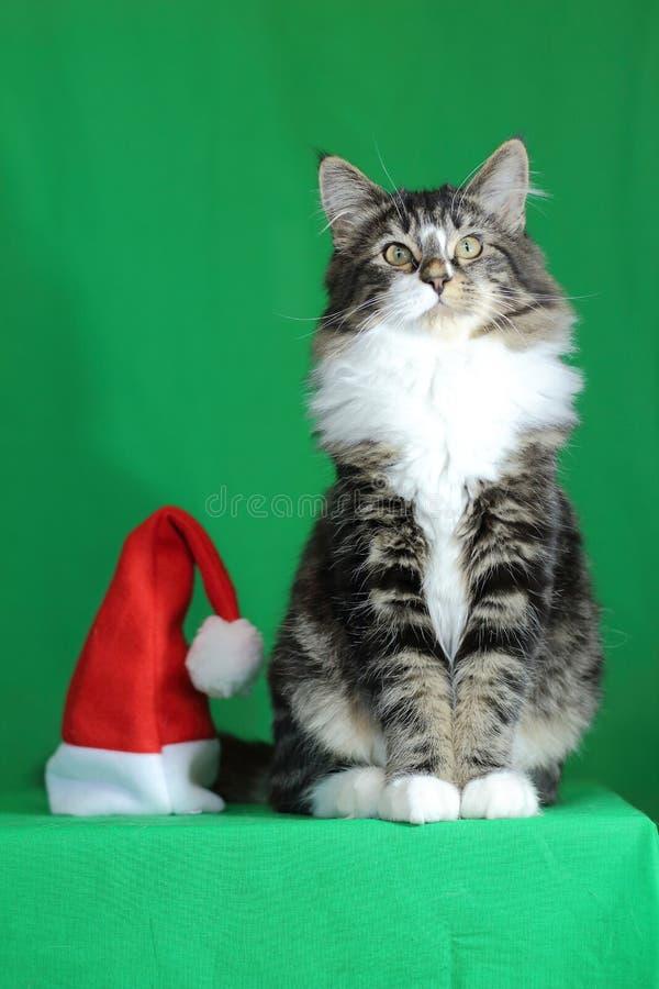 Tigre grigia di Kitten Maine Coon con un collo bianco e uno sguardo fiero e maestoso mentre sedendosi accanto ad un cappello di S immagine stock