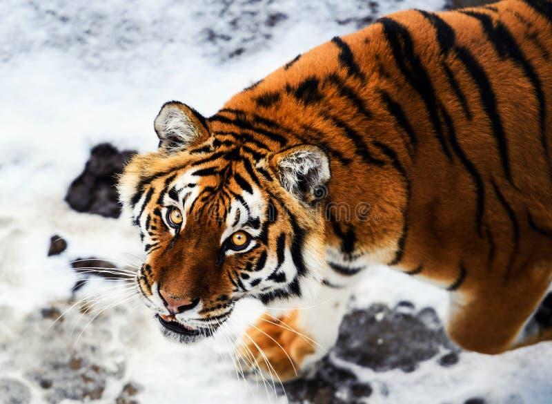 Tigre hermoso de Amur en nieve Tigre en bosque del invierno imagen de archivo