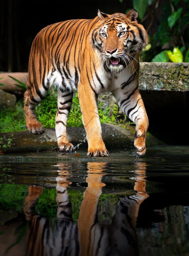 Tigre hermoso de Sumatran en el vagabundeo fotos de archivo libres de regalías