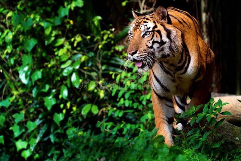 Tigre hermoso de Sumatran en el vagabundeo imagen de archivo