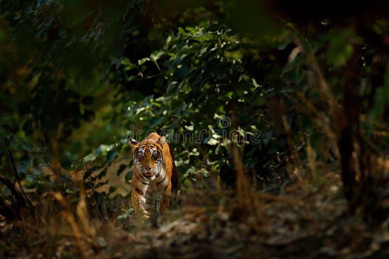 Tigre indio, animal salvaje en el hábitat de la naturaleza, Ranthambore, la India Gato grande, animal en peligro ocultado en fina fotos de archivo