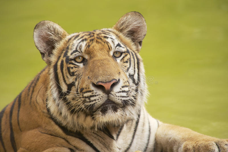 Tigre indochinois adulte image libre de droits