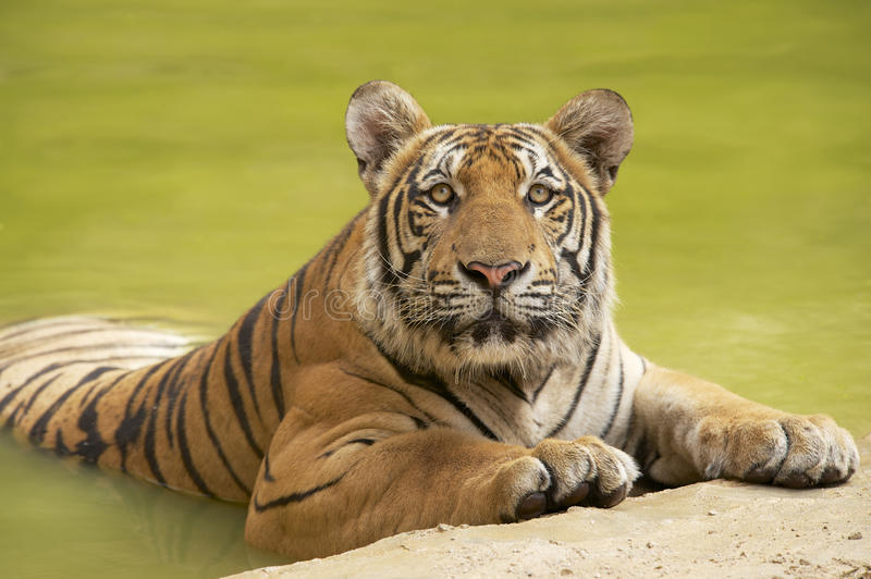 Tigre indochinois adulte au bord de l'eau photographie stock