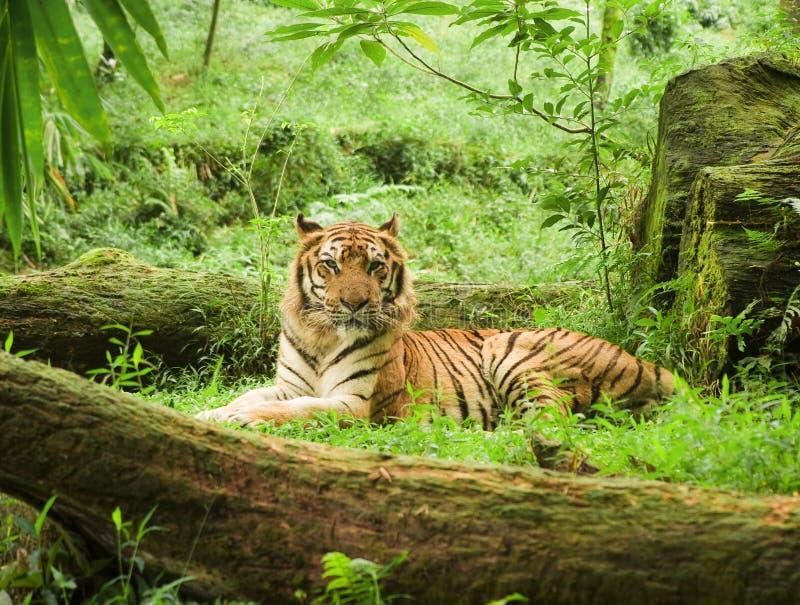 tigre indonésien photographie stock libre de droits