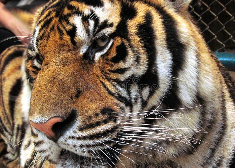 Tigre ingabbiata fotografia stock