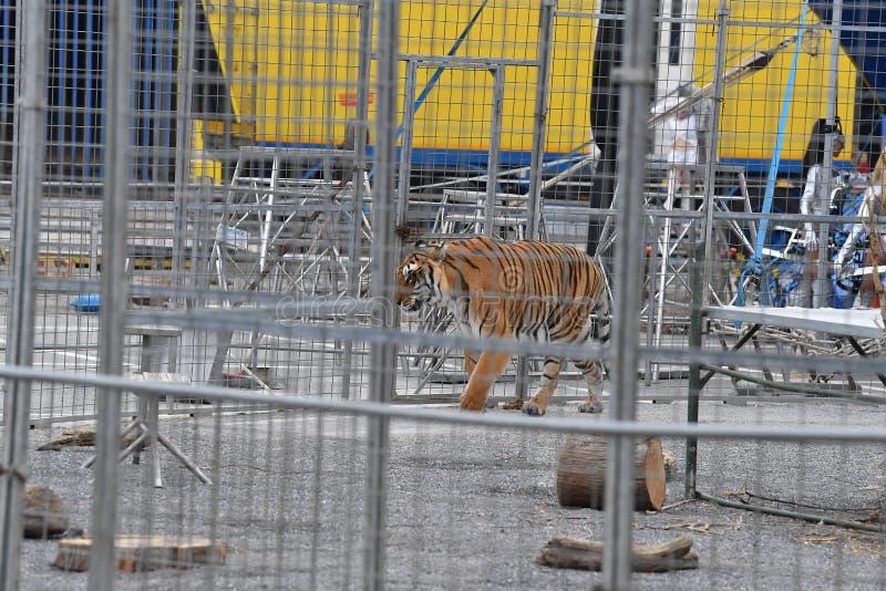 Tigre ingabbiata circo immagine stock libera da diritti
