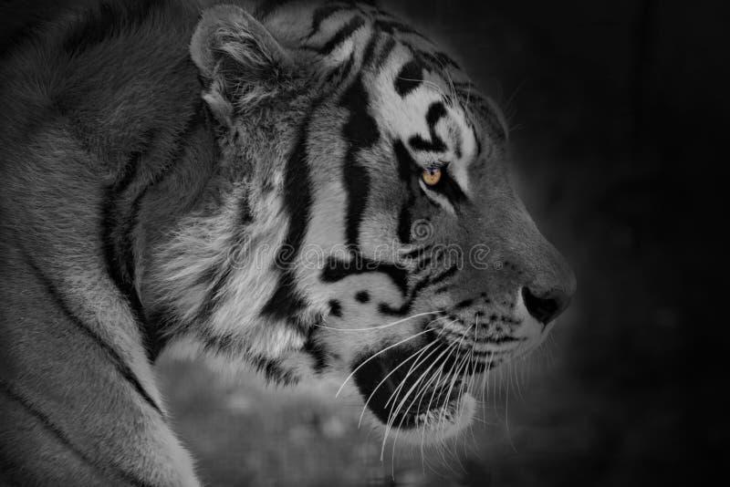 Tigre inspirador fotografia de stock