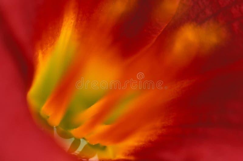 Tigre interno lilly imagem de stock