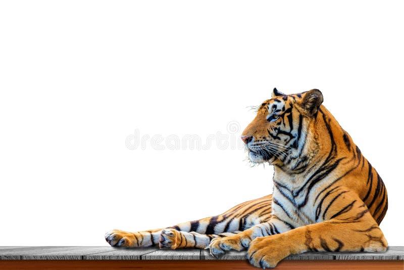 Tigre isolado no fundo branco fotos de stock