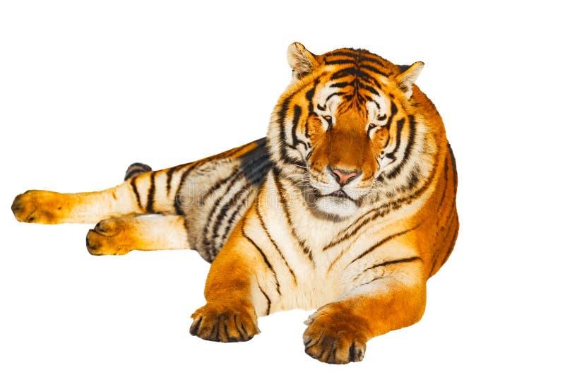 Tigre isolado no fundo branco imagens de stock