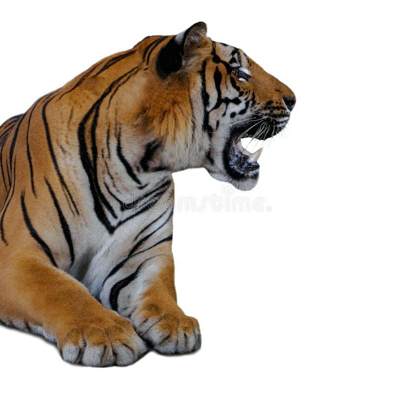 Tigre isolata su priorità bassa bianca fotografia stock