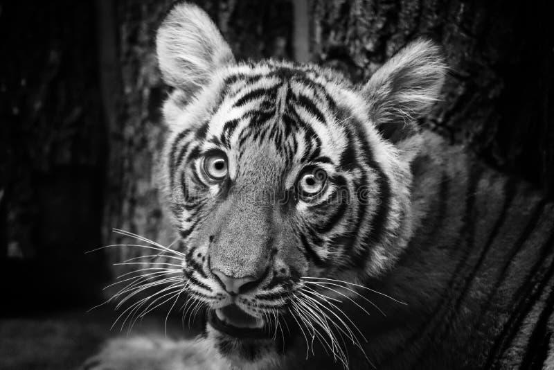 Tigre joven fotografía de archivo