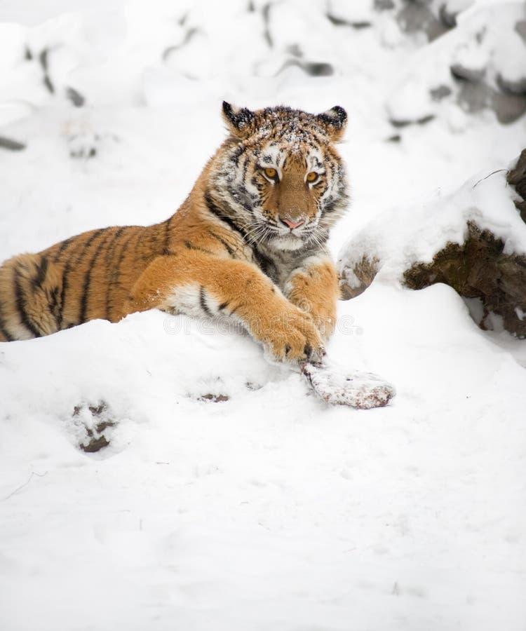 Tigre joven fotografía de archivo libre de regalías