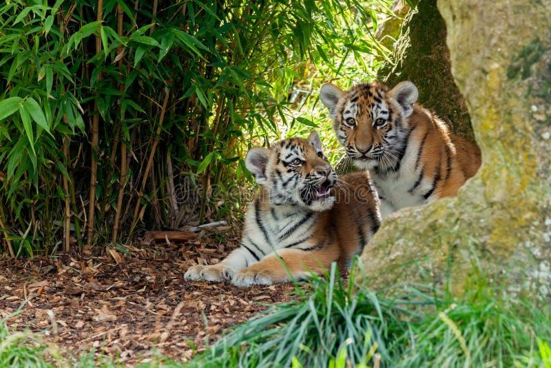 Tigre lindo Cubs de dos Amur en abrigo rocoso fotografía de archivo