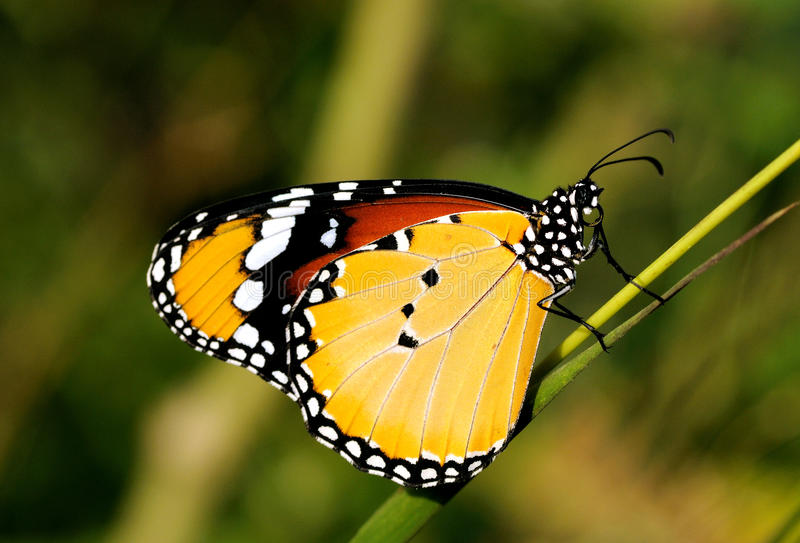 Download Tigre liso foto de stock. Imagem de tigre, exotic, monarch - 16872824