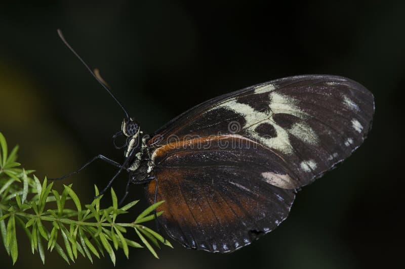 Tigre Longwing fotografía de archivo libre de regalías