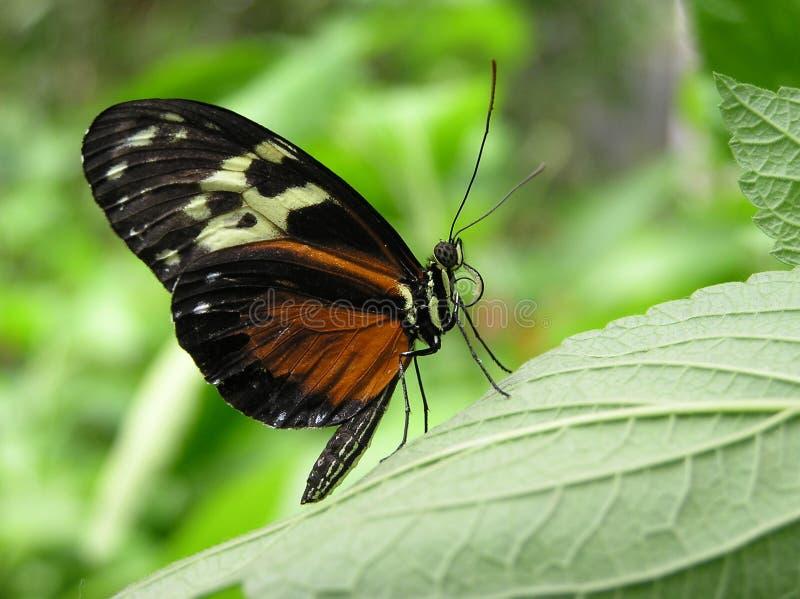 Tigre Longwing fotografie stock
