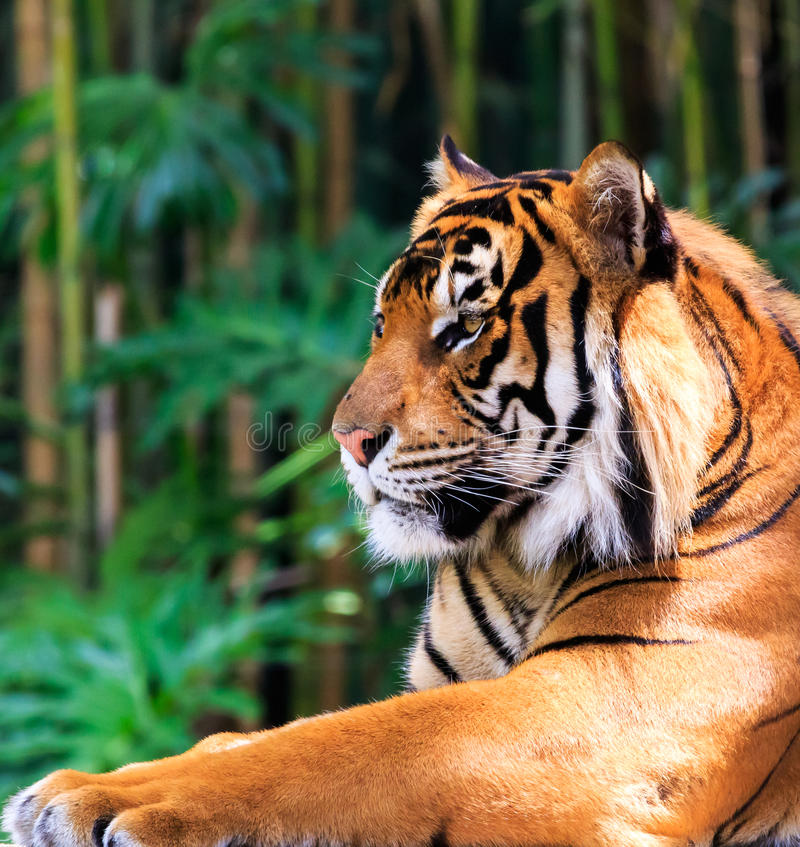 Tigre majestueux images stock