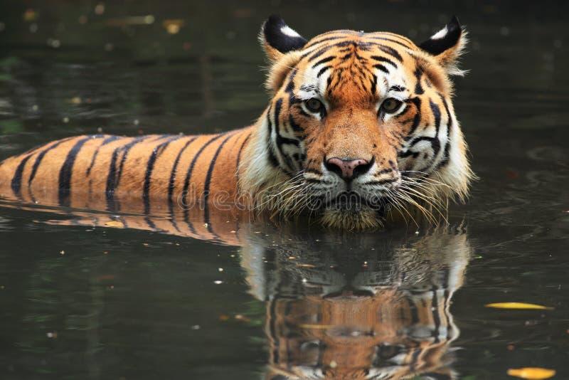 Tigre Malayan imagens de stock