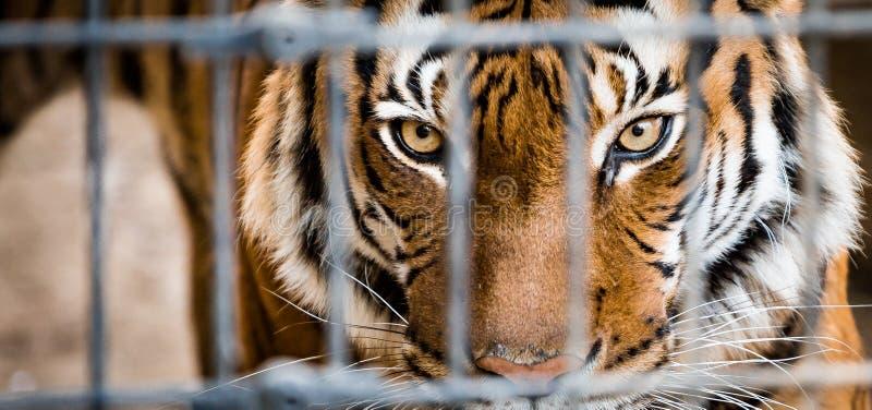 Tigre Malayan na gaiola foto de stock royalty free