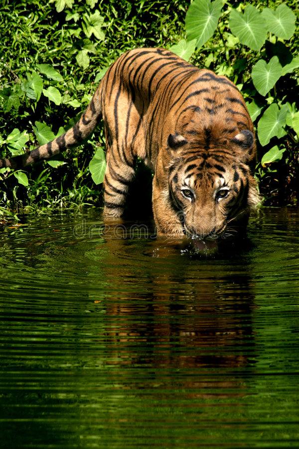 Download Tigre malayo imagen de archivo. Imagen de prudente, verde - 190447
