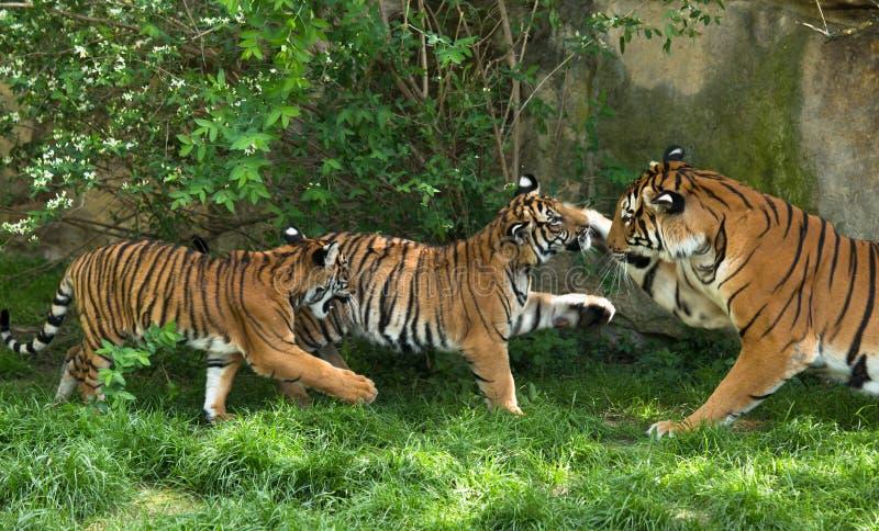 Tigre malayo, madre con los gatitos imagen de archivo