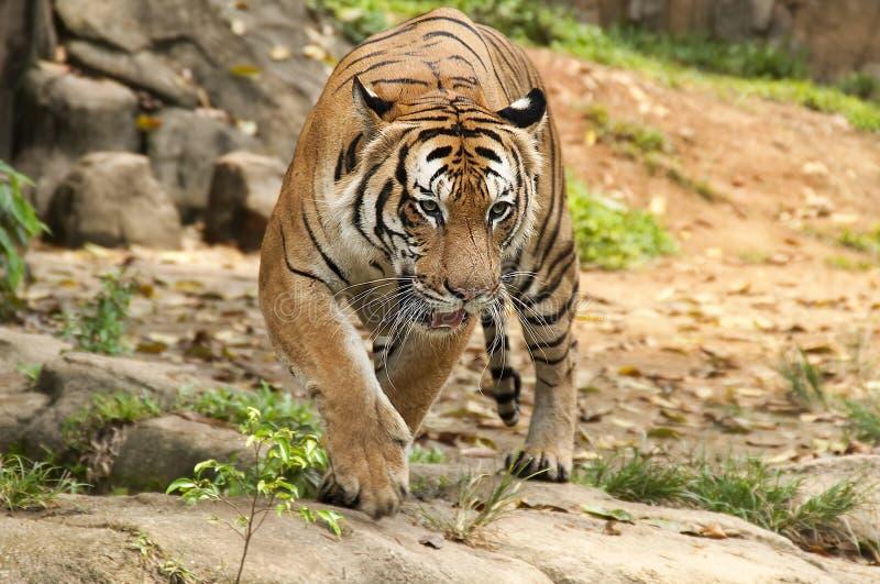 Tigre malayo que ronda imagenes de archivo