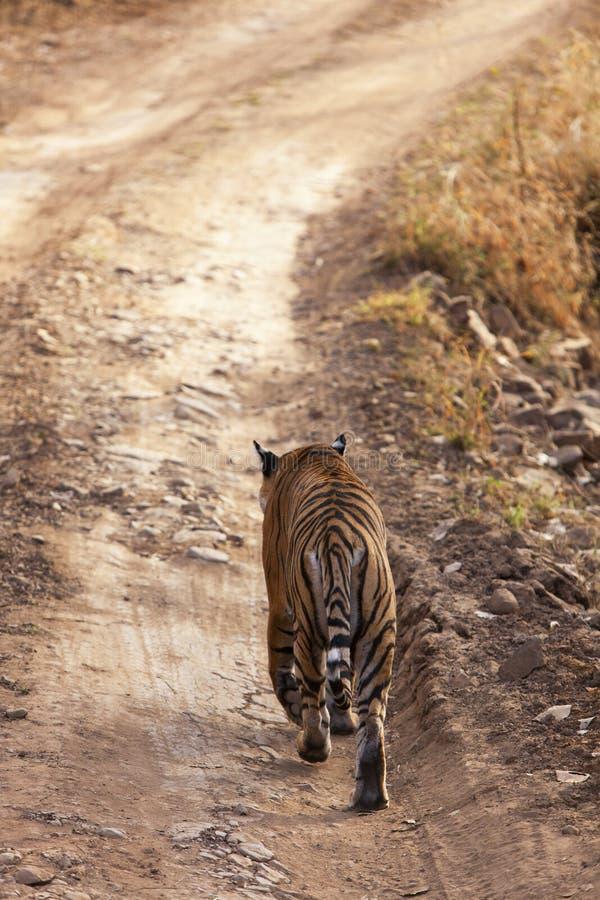 Tigre Sur Le Vagabondage. Images libres de droits