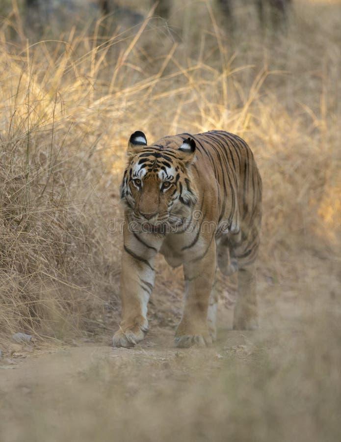 Tigre masculin marchant sur Forest Trail au parc national de Pench, Madhya Pradesh images libres de droits