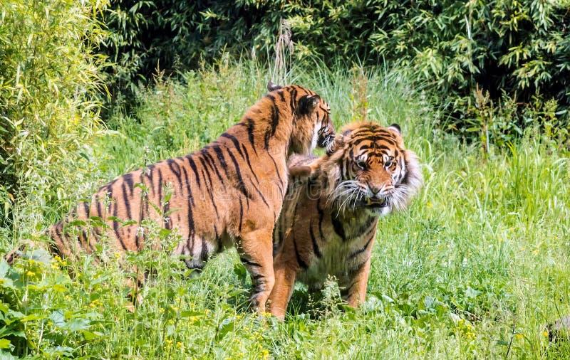 Tigre masculino de arrelia do sondaica de tigris do Panthera do tigre fêmea de Sumatran imagens de stock