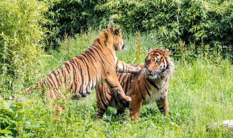 Tigre masculino de arrelia do sondaica de tigris do Panthera do tigre fêmea de Sumatran foto de stock royalty free