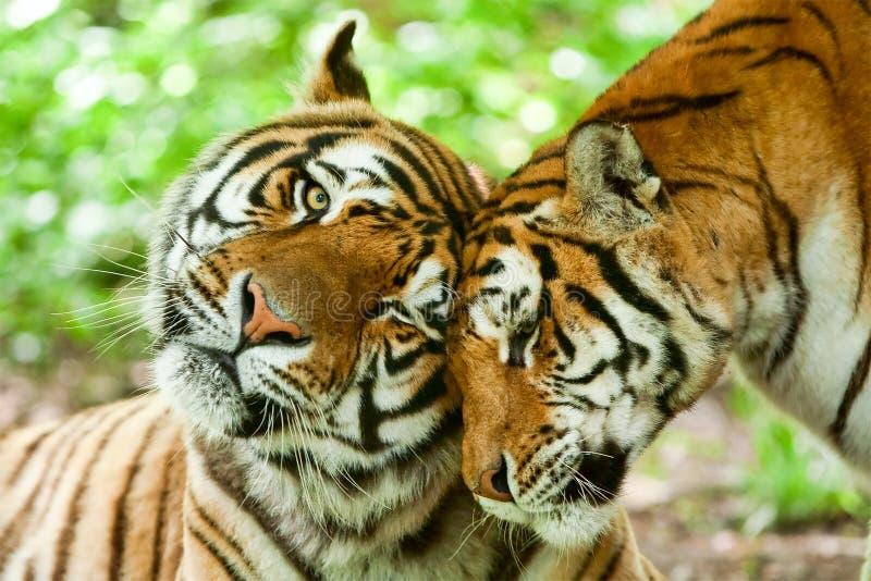 Tigre masculino e fêmea imagem de stock royalty free