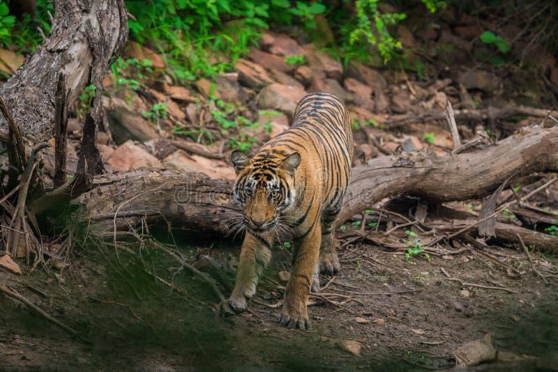 Tigre masculino en el vagabundeo foto de archivo