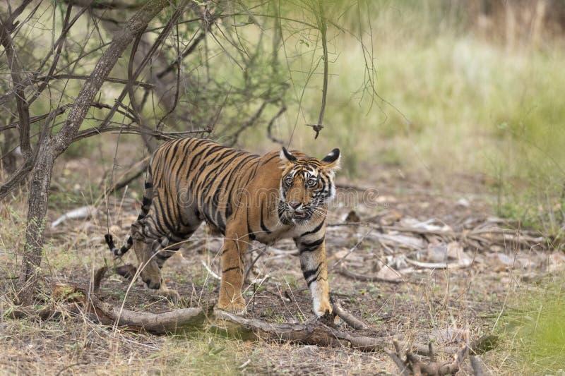 Tigre masculino novo visto no parque nacional de Ranthambhore imagem de stock