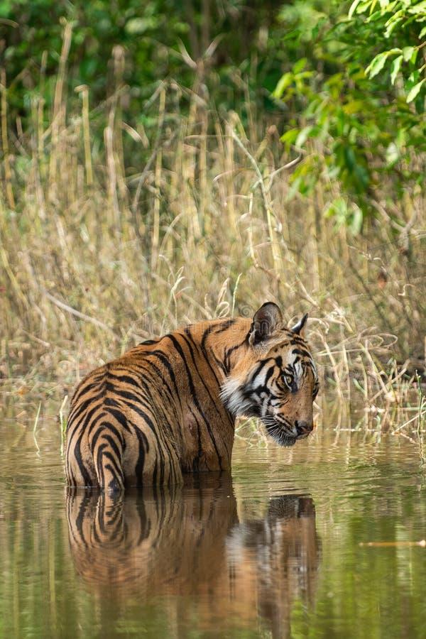 Tigre masculino real de Bengala que descansa y que se refresca apagado en cuerpo del agua Animal en bosque verde y en hábitat de  fotografía de archivo