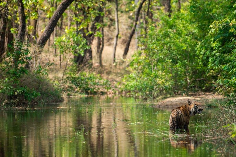 Tigre masculino real de Bengala que descansa y que se refresca apagado en cuerpo del agua Animal en bosque verde y en hábitat de  fotografía de archivo libre de regalías