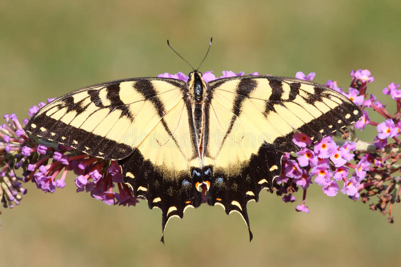 Tigre masculino Swallowtail (glaucas do papilio) fotos de stock