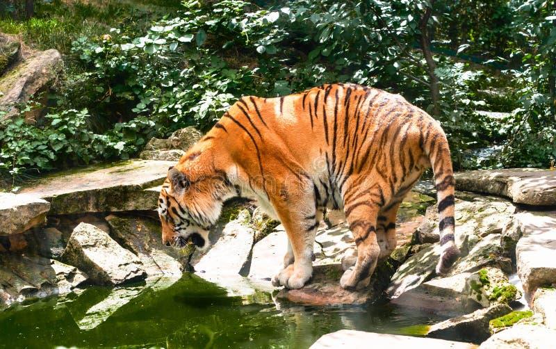 Tigre na água no dia de verão quente imagens de stock royalty free