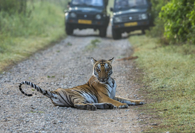 Tigre na estrada imagens de stock royalty free