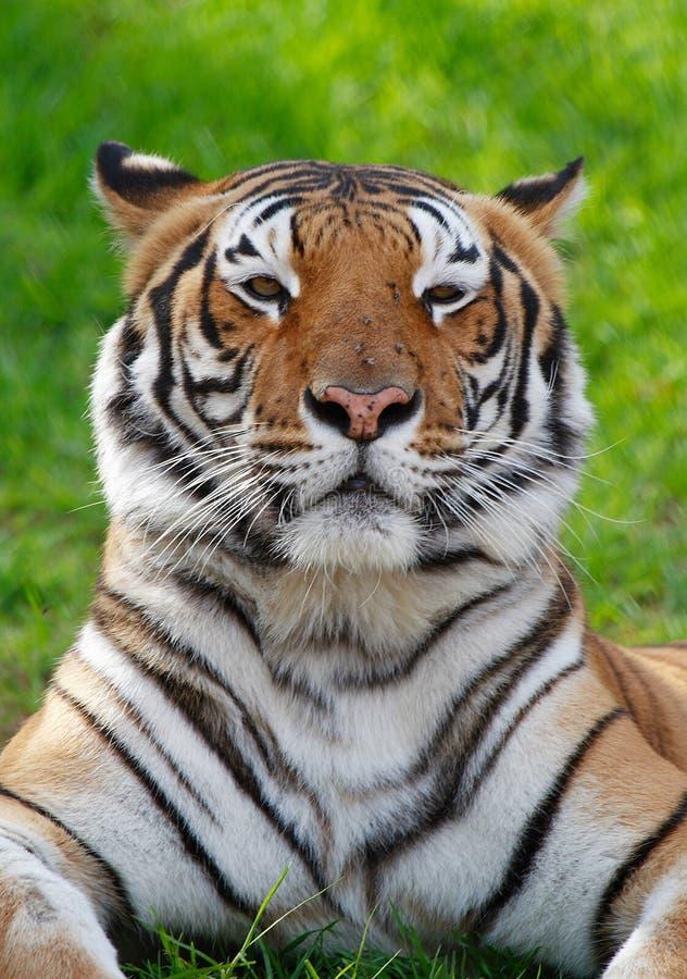 Tigre na grama