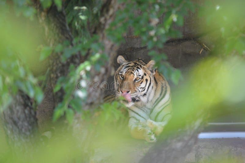 Tigre nas árvores imagem de stock royalty free