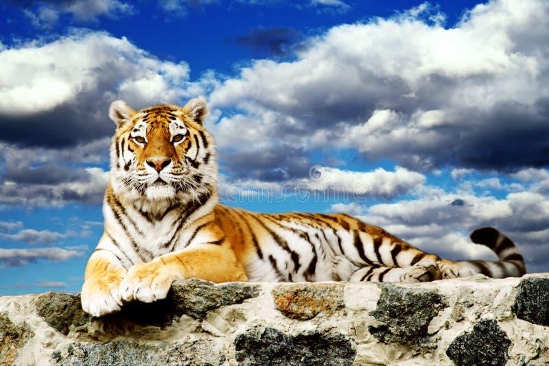 Tigre nel cielo immagine stock libera da diritti
