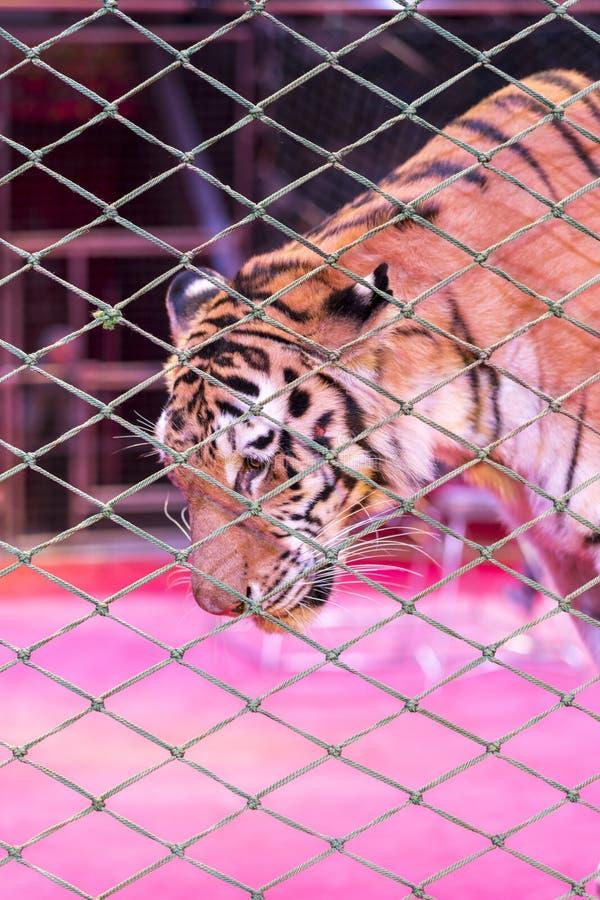 Tigre nel circo, dietro la griglia immagine stock
