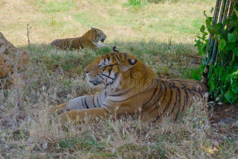 Tigre nel parco Fasano di safari a sud dell'Italia fotografie stock